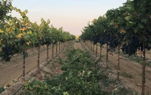 Just before harvest, opening the canopy....